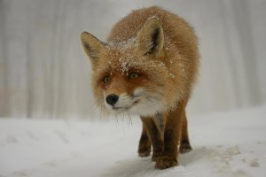 a cute fox