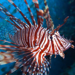 Lionfish will help kill you so coral can eat you