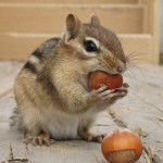 Warning: Nuts Chipmunk!