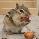 Warning: Nuts Chipmunk!
