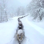Sheep Traffic Jam in the Snow