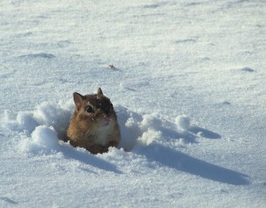 Snow Chipmunks