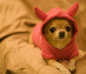 hooded chihuahua