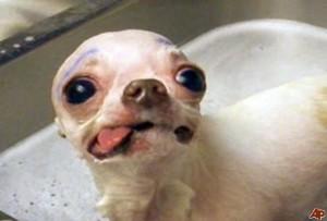 weird chihuahua face