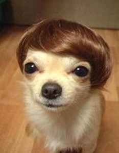 weird chihuahua hairdoo