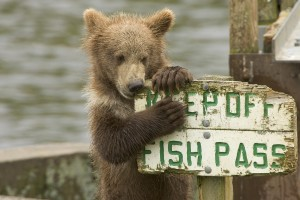 Bear eating sign that says keep off fish pass